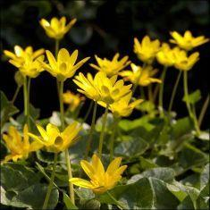 celandine flower remedy