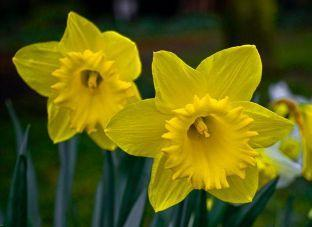 daffodil flower remedy