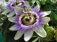 passion flower essence