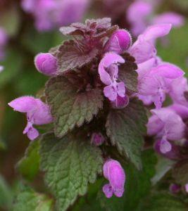 red dead nettle flower essence