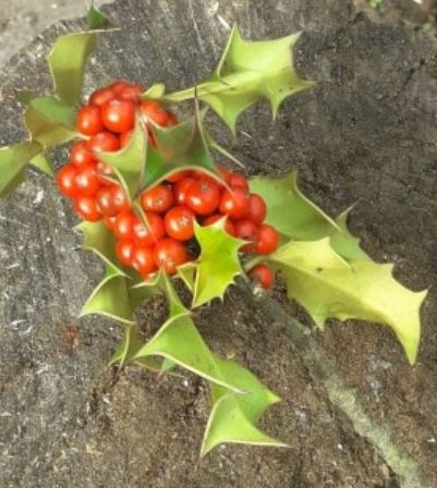 holly.berries
