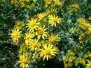 Lunar ragwort flower remedy
