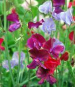 sweet pea flower essence