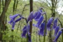bluebell flower remedy