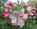 Bramley Flower Remedy / Essence Malus domestica