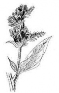 Bugloss Flower Remedy / Essence Echium lycopsis