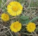 lunar coltsfoot