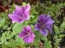 MALLOW FLOWER ESSENCE (MALVA)