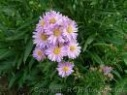 Lunar michaelmas daisy flower remedy
