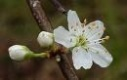 Lunar Plum flower remedy