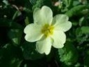 lunar primrose flower remedy