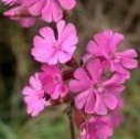 lunar red campion flower remedy