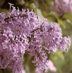 PERSIAN LILAC FLOWER ESSENCE