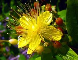 saint johns wort flower essence