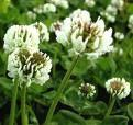 lunar white clover flower remedy